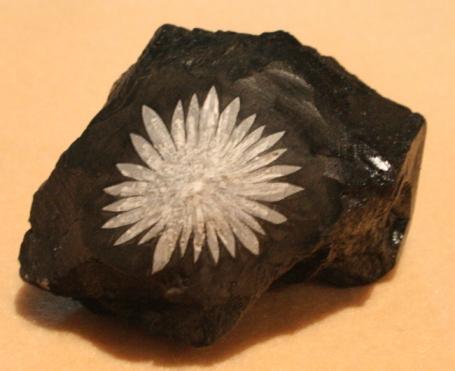 Crysanthemum Cyrstal